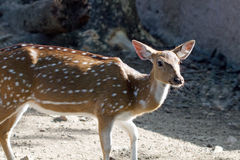 Single spotted deer Stock Photo