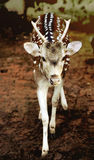 Single spotted deer Royalty Free Stock Image
