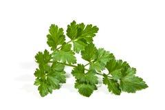 Single Sprig of Flat-Leaf Italian Parsley Stock Photo