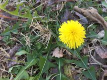 Single spring Dandelion flower. Pretty yellow Dandelion flower. Taraxacum Officinale. Bright yellow flower growing up thru leaves and weeds royalty free stock photography
