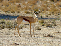 Single Springbok photographed in the Kgalagadi Transfrontier National Park between South Africa, Namibia, and Botswana. Royalty Free Stock Images