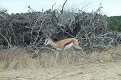 Single Springbok Stock Photos