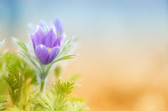 Single springtime pasque-flower Stock Images