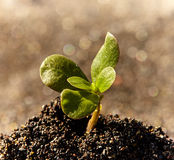 Single sprout Royalty Free Stock Photography