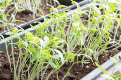 Sprouts. Single sprout of tomato in earth Royalty Free Stock Photography