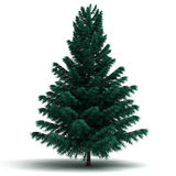 Single Spruce Pine Tree Royalty Free Stock Images