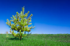 Single spruce tree Royalty Free Stock Photography
