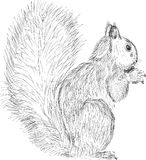 Single squirrel sketch isolated on white Stock Photography