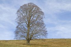 Sycamore maple on a mountain meadow. Single standing maple tree in the fall without leaves on a mountain meadow and the Monti Lessinis Stock Photography