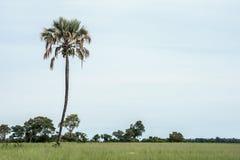 Single palm tree in the fields. Single standing palm tree in green fields Stock Photo