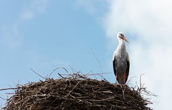 Single standing stork in her nest in spring season Stock Image