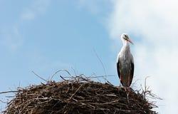 Single standing stork in her nest in spring season Stock Image