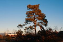 A single standing tree in autumn with a clear blue sky Royalty Free Stock Photo