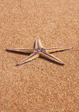 Single starfish Royalty Free Stock Images