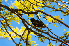 Single starling among branches and yellow leaves Royalty Free Stock Image