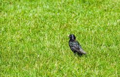 Single starling in green grass looking left Stock Photo