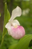Single stem lady slipper Stock Photos