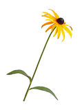 Single stem, leaves and flower of a Rudbeckia isolated on white Royalty Free Stock Photos
