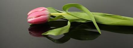 Single stem pink tulip Stock Photos