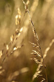 Single straw. Against defocused field basking in late afternoon sunlight Royalty Free Stock Image