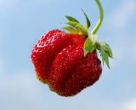 Single strawberry. Stock Photos