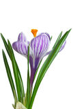Single stripy crocus. Isolated on the white background stock image