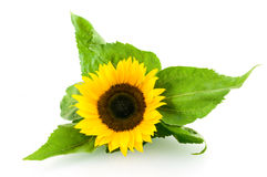 Single sunflower Stock Photo