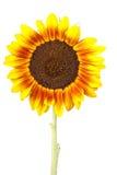 Single sunflower Royalty Free Stock Photography