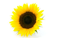 Single sunflower Stock Images