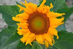 Single sunflower. Big sunflower on the dry earth Stock Images