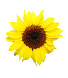 Single sunflower Stock Photos