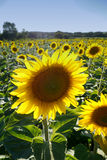 Single sunflower. In a field Royalty Free Stock Images