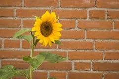 Single sunflower Royalty Free Stock Image