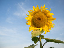 Single sunflower Stock Image