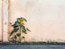 Single sunflower on the background of a concrete wall Stock Image