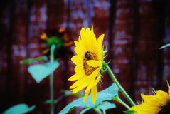 Single sunflower and bee Stock Image