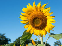 Single Sunflower on Blue Sky Royalty Free Stock Photography