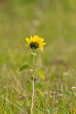 Single Sunflower with blurred background Stock Images
