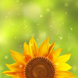 Single sunflower with a blurred green background Stock Photo