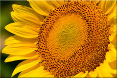 Single Sunflower Close Up Royalty Free Stock Images