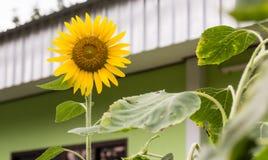 Single sunflower Stock Photography