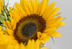 Single Sunflower. Close up of a single Sunflower with white background Stock Image