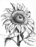 A single sunflower. Drawing with pen and ink Stock Photography