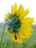 Single sunflower on a field Royalty Free Stock Image