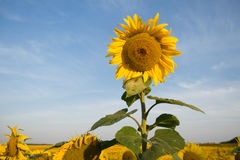Single sunflower among the field. Royalty Free Stock Photos