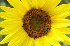 Close-up view of sunflower with bee. stock photos