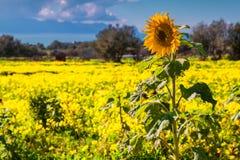 Single sunflower field over field of blossom flowers Stock Photo