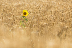 Single Sunflower on a field of wheat Stock Photos