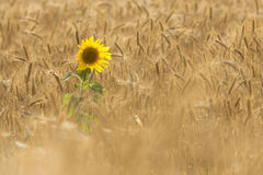 Single Sunflower on a field of wheat Royalty Free Stock Image