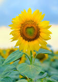 Single sunflower  Royalty Free Stock Photos